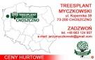 Sadzonki Świerk Srebrny PICEA PUNGENS KAIBAB 25-40 cm HURT!! - 7