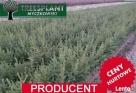 Świerk Pospolity PICEA ABIES 2/1 25-50 cm Producent HURT !! - 5