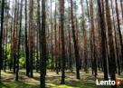 Las Sosnowy Zbąszyń