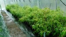 Sadzonki Bambusów Mrozoodporne Drzewiaste Kępowe Odmiany - 3