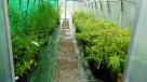 Bambus Phyllostachys aureosulcata f.aureocaulis 3L 100-125cm - 5