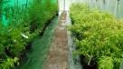 Bambus Phyllostachys aureosulcata f.aureocaulis 3L 100-125cm - 4
