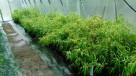 Bambus Phyllostachys aureosulcata f.aureocaulis 3L 100-125cm - 6