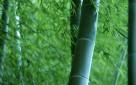 Bambusy Kraków Bambus Great Wall Rufa Grune Hecke Pingwu - 7