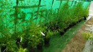 Bambus Phyllostachys aureosulcata f.aureocaulis 3L 100-125cm - 7