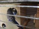 Papugi faliste fioletowe sprzedam. - 1