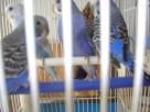 Papugi faliste fioletowe sprzedam. - 2