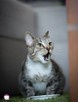 Chałka - delikatna kocia królewna - 12