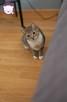 Chałka - delikatna kocia królewna - 14