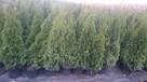 Tuja thuja Szmaragd w doniczkach 140cm+,160cm+,180cm+,200cm+ - 2