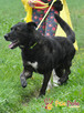 FRIŚ-Duży , wesoły, energiczny, pręgowany psiak do adopcji - 2