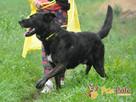 FRIŚ-Duży , wesoły, energiczny, pręgowany psiak do adopcji - 4