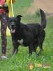 FRIŚ-Duży , wesoły, energiczny, pręgowany psiak do adopcji - 3
