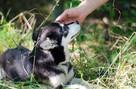 Zaginęła miniaturka husky o imieniu Shendy - Katowice - 7