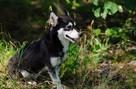 Zaginęła miniaturka husky o imieniu Shendy - Katowice - 5