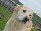 MECENAS-prze-kochany labrador do adopcji. Psiak w schronisku - 7