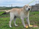 MECENAS-prze-kochany labrador do adopcji. Psiak w schronisku - 2