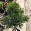 Sosna hakowata Grüne Welle na pniu 40-50 cm kosodrzewina