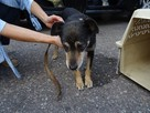 Starszy psiak pilnie szuka domu tymczasowgo lub stałego - 2
