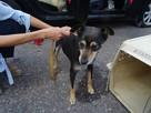 Starszy psiak pilnie szuka domu tymczasowgo lub stałego - 1
