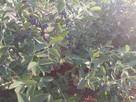 Owoce jagody kamczackiej - 2