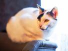 BANSZI-kocia indywidualistka szuka spokojnego, troskliwego d
