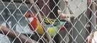 tanio sprzedam papugi - 2