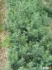 świerk srebrny siewka 10-20cm szkółka drzew i krzewów Acer