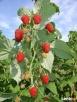 Sadzonki maliny jesiennej, bardzo plenne, odporne na choroby - 2