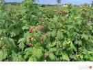 Sadzonki maliny jesiennej, bardzo plenne, odporne na choroby - 3