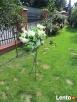 Stojak stojaki na kwiaty Wypożyczalnia Wynajem - 4