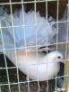 golebie pawki Bytoń