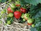 sadzonki truskawki Honeoye