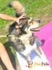 BESKID-Przepiękny, dostojny, wesoły i energiczny pies,adopcj - 2