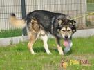 BESKID-Przepiękny, dostojny, wesoły i energiczny pies,adopcj - 7
