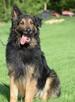 Górnik , piękny pies w typie owczarka niemieckiego szuka dom - 7