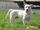 OPAL-niewielki biały psiak;spokojny, grzeczny, niedosłyszący - 3