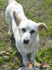 OPAL-niewielki biały psiak;spokojny, grzeczny, niedosłyszący - 6