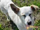 OPAL-niewielki biały psiak;spokojny, grzeczny, niedosłyszący - 2