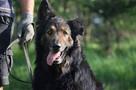 Górnik , piękny pies w typie owczarka niemieckiego szuka dom
