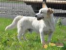 OPAL-niewielki biały psiak;spokojny, grzeczny, niedosłyszący - 4