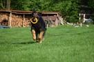 Górnik , piękny pies w typie owczarka niemieckiego szuka dom - 2