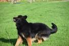 Górnik , piękny pies w typie owczarka niemieckiego szuka dom - 3