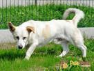 OPAL-niewielki biały psiak;spokojny, grzeczny, niedosłyszący - 7