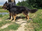 Górnik , piękny pies w typie owczarka niemieckiego szuka dom - 4