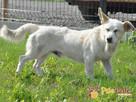 OPAL-niewielki biały psiak;spokojny, grzeczny, niedosłyszący - 8
