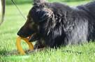 Górnik , piękny pies w typie owczarka niemieckiego szuka dom - 5