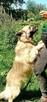 Grey przepiękny pies szuka domu - 3
