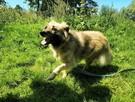 Grey przepiękny pies szuka domu - 8