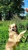 Grey przepiękny pies szuka domu - 4